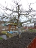 Obstbaumschnitt im KGV Saalestrand_3