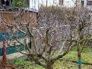 Obstbaumschnitt im KGV Saalestrand_5